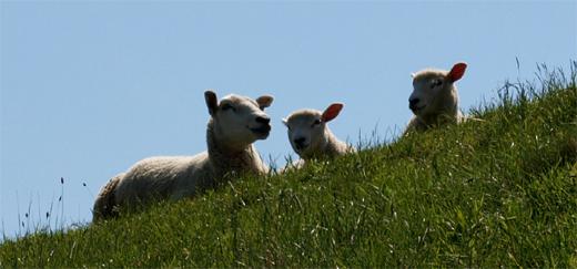 Schafe und Deich