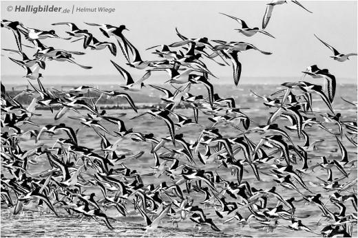 Vogelschwarm im Wattenmeer